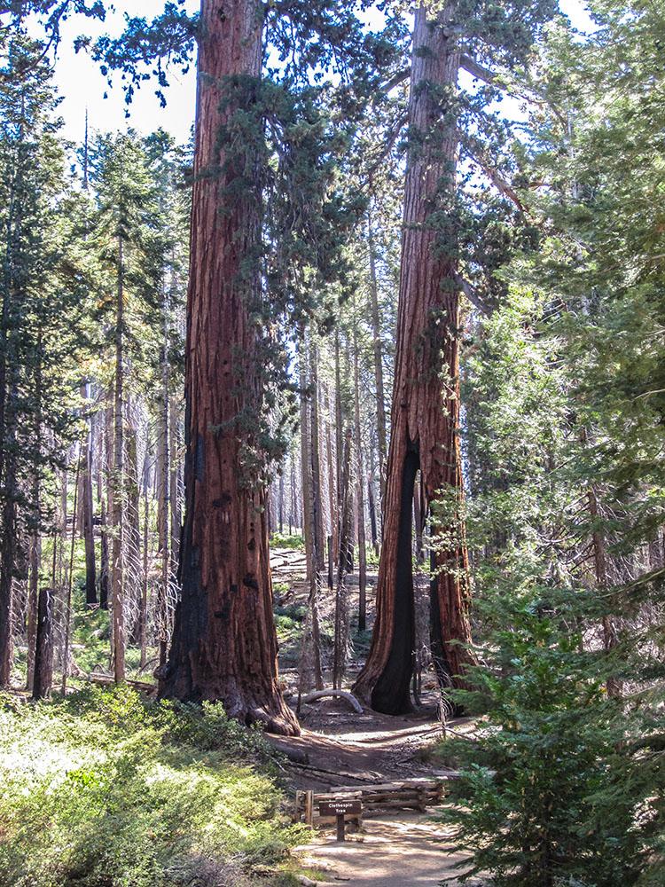 sequoias yosemite mariposa molaviajar